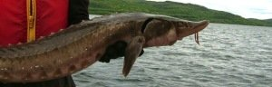 Lake_sturgeon_Fungus Guy 2