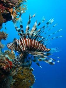 Lionfish Information