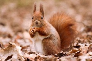 Little_Red_Squirrel_On_The_Leaves_400
