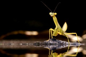 Mantis Facts