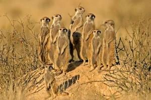 Meerkat Information