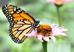 Monarch_Butterfly_400