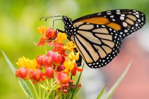 Monarch_Butterfly_Feeding_600