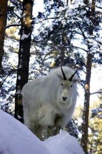 Mountain_Goat_On_The_Snowy_Rock_400