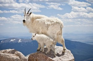 Mountain Goat Facts