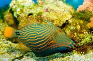 Orange_Lined_Trigger_Fish_400
