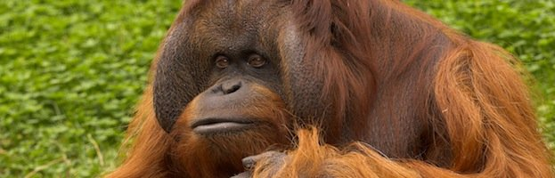 Orangutan Quick Facts