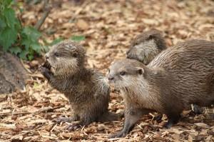 Eurasian Otter Pup Facts