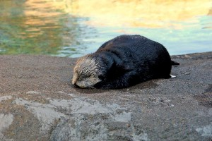 Sea Otter Pup Facts