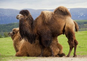 Bactrian Camels Facts