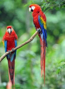 Scarlet Macaw Information