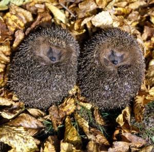 Hedgehog Information