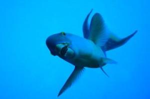 Parrotfish_400
