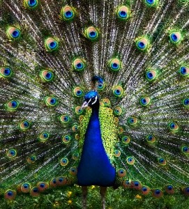 Peacock_Showing_Feathers_400