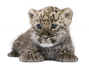 Persian Leopard Cub Facts
