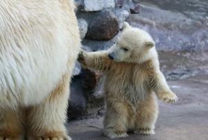 Polar Bear Cub Facts