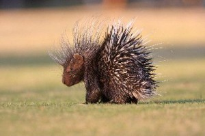 Porcupine_on_Grass_400