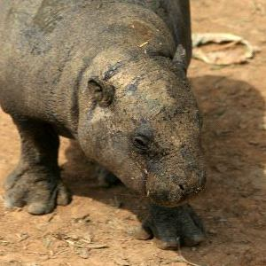 Pygmy Hippopotamus Facts and Information