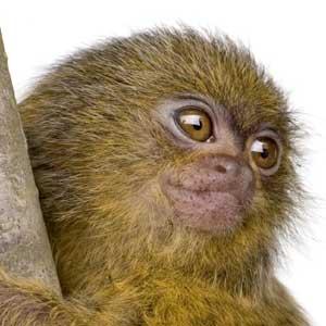 Pygmy Marmoset Infant