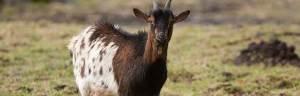 Pygmy_Goat