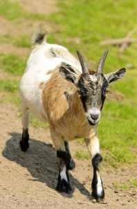 Pygmy Goat Facts
