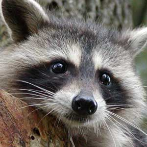 Racoon Cub