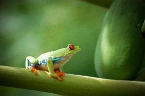 Red_Eyed_Tree_Frog_400