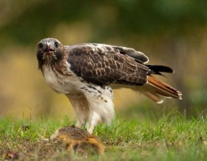 Red_Tailed_Hawk_400