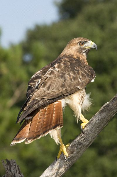 Red tailed hawk animal facts and information - Red tailed hawk wallpaper ...