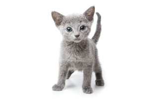 Russian Blue Kitten Facts