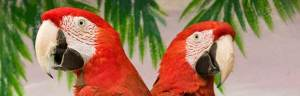 Scarlet_Macaw