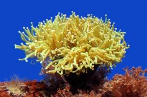 Sea Anemone Information