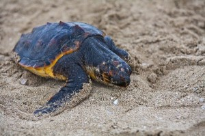 Sea Turtle Hatchling Facts