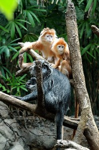 Silver Leaf Monkey Infants Facts