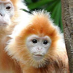 Silvered Leaf Monkey Infant
