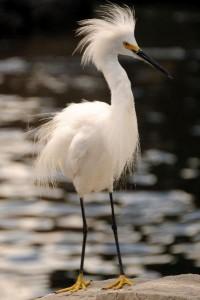 Snowy Egret Information