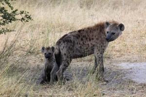 Spotted_Hyenas_In_The_Okavango_600