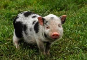 Spotted Piglet Information