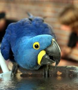 Squatting_Hyacinth_Macaw_2_400