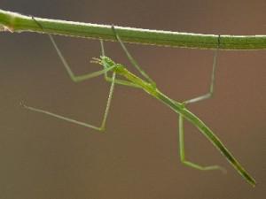 Stick_Bug_2_400