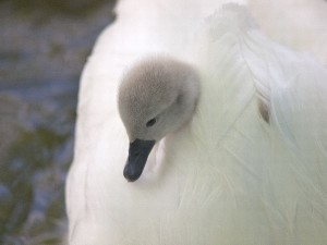 Swan Cygnet Facts