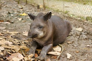 Tapir Calf Facts