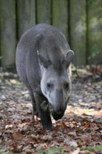 Tapir_Walking_400