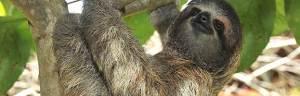 Three-Toed_Sloth