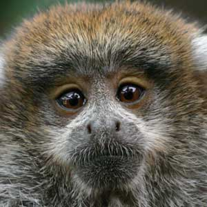 Titi Monkey Infant