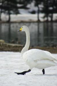 Tundra_Swan_Walking_in_Snow_400