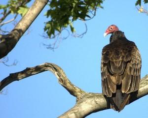 Turkey Vulture Facts