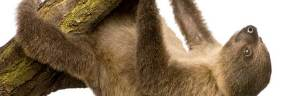 Two-Toed_Sloth