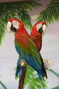 Two_Scarlet_Macaws_On_A_Pole_600