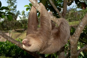 Two_toed_Sloth_In_Motion_600